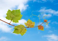 Free Grapevine Stock Image - 9311491
