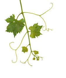 Free Grapevine Royalty Free Stock Image - 9312236