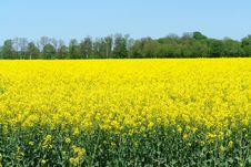 Free Rapeseed Field Stock Photography - 9312962