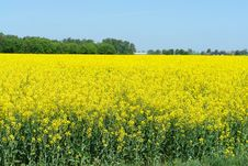 Free Rapeseed Field Stock Image - 9312981
