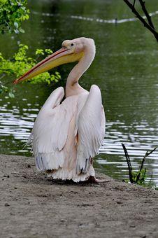 Free Great White Pelican - Pelecanus Onocrotalu Royalty Free Stock Image - 9313746