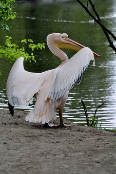 Free Great White Pelican - Pelecanus Onocrotalu Royalty Free Stock Images - 9313899