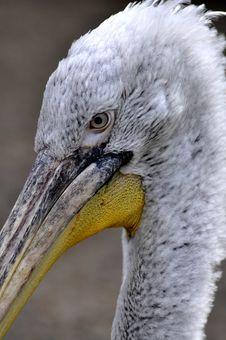 Free Great White Pelican - Pelecanus Onocrotalu Royalty Free Stock Photography - 9314517