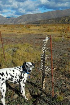 Free Dog With Skeleton Bones Stock Photography - 9314742