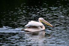 Free Great White Pelican - Pelecanus Onocrotalu Stock Images - 9315104