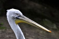 Free Great White Pelican - Pelecanus Onocrotalu Stock Photos - 9315303