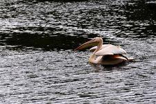 Free Great White Pelican - Pelecanus Onocrotalu Royalty Free Stock Images - 9315499