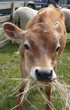 Free Jersey Calf Munching On Straw Royalty Free Stock Photo - 9315675