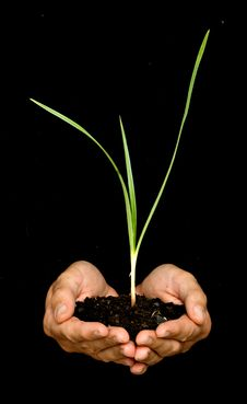 Hands With A Sedge Plant Stock Image