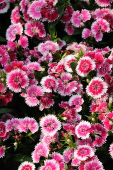 Free Pink Dianthus Flower Stock Photography - 9316022