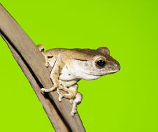 Free Tree Frog On Green Background Royalty Free Stock Photos - 9317198