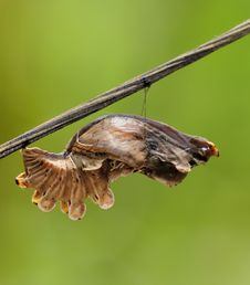 Free Butterfly Pupa - Common Rose Royalty Free Stock Photo - 9317205