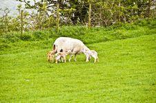 Free Sheep Just Given Birth To 3 Lambs Royalty Free Stock Photos - 9319398