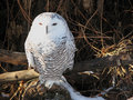 Free Snowy Owl Stock Photography - 9327342