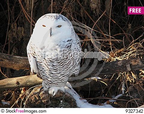Free Snowy Owl Stock Photography - 9327342