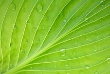 Free Hosta Leaf Pattern With Dew Drops Stock Photos - 9320233