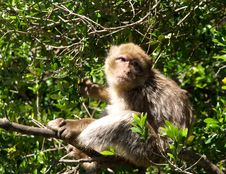 Free Monkey In A Tree Royalty Free Stock Image - 9320586