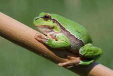 Free Frog On Stalk Royalty Free Stock Photo - 9321975