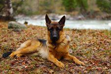 Free The German Shepherd Royalty Free Stock Photography - 9323297
