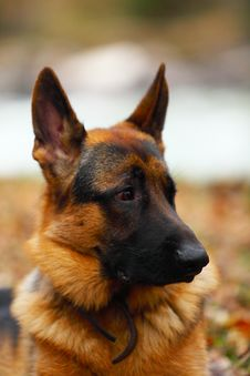 Free German Shepherd Stock Image - 9323341
