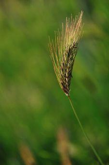 Free Ear Of Wheat Sicilian Stock Photography - 9323582