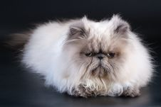 Free Male Persian Cat Breed Stock Photo - 9324190