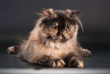 Free Female Persian Cat Breed Stock Images - 9324214