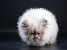 Free Male Persian Cat Breed Like Taraxacum Stock Photo - 9324220