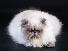 Free Male Persian Cat Breed Stock Photos - 9324223