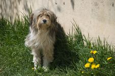 Free Romanian Shepherd Dog Stock Photography - 9325382