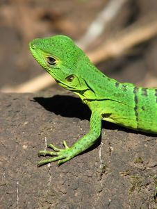 Free Green Iguana Royalty Free Stock Images - 9326789