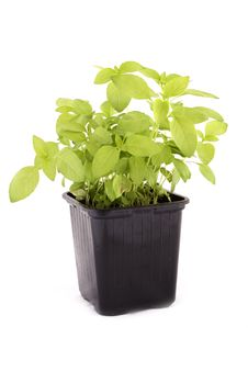 Free Basil Royalty Free Stock Photo - 9327035