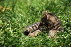 Free Kitten Royalty Free Stock Photo - 9328185
