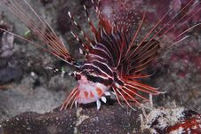 Free Spotfin Lionfish Royalty Free Stock Images - 9328349