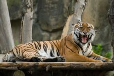 Free Roaring Tiger Stock Photos - 9328893