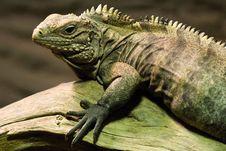Free Iguana Waiting For Its Pray Stock Photos - 9329083