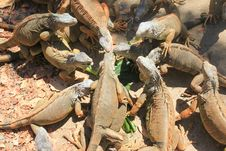 Free Group Of Lizards Stock Photos - 9329683