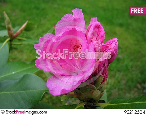 Free Flower Rhododendron. Stock Images - 93212504
