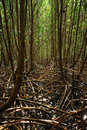 Free Mangrove Forest Stock Photography - 9332812