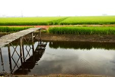 Free Paddy Field Morning Series Royalty Free Stock Image - 9330156
