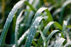 Leaves Wet With Dew Royalty Free Stock Images