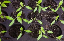 Free Seedlings Royalty Free Stock Photos - 9332398
