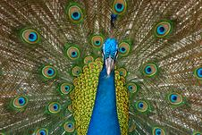 Free Peacock Stock Photography - 9332992