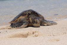 Free Hawaiian Green Sea Turtle Stock Photos - 9333203