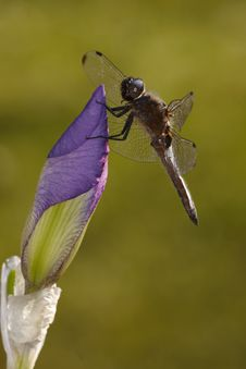 Free Violet Iris Flower With Dragonfly Royalty Free Stock Image - 9333696