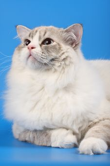 Free Cat Portrait Royalty Free Stock Images - 9335239