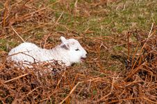 Free Spring Lamb Stock Photography - 9335462