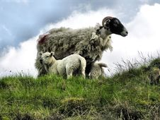 Free Ewe With Lambs Stock Image - 9335731