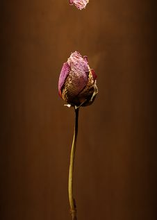 Free Dry Rose Royalty Free Stock Image - 9336566