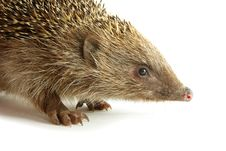 Free Hedgehog Royalty Free Stock Image - 9337136
